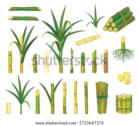 Sugar cane isolated cartoon set icon. Vector cartoon set icon sugarcane. Vector illustration sugar cane on white background.