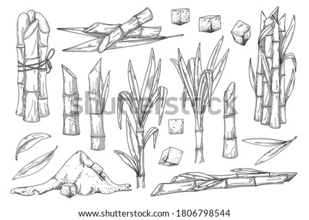 Sugar cane. Natural organic sweetener harvest illustration. Sugar cane plant, stem bunch, stalk and leaves, sweet spice cube and powder ingredient engraved sketch isolated vector set on background Foto stock ©