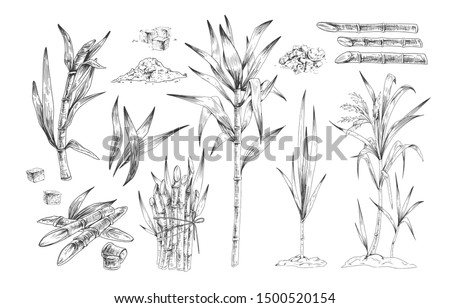 Sugar canes hand drawn vector illustrations set. Sugarcane trees, growing plant branches engravings pack. Rum ingredient black and white drawing. Plantation harvest isolated on white background. Foto d'archivio ©