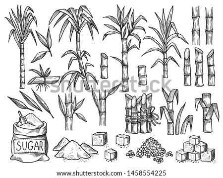 Sugar plant. Agriculture production of sugarcane plantation vector hand drawn collection. Illustration of sugar plant, sugarcane ripe cultivated