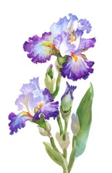 Summer garden iris flowers, watercolor vector illustration