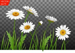 Summer meadow with realistic daisy, camomile flowers on transparent background. Vector illustration