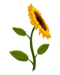 Sunflower blossom. Hand drawn sunflower with green leaves. Decorative floral design elements for invitations and cards