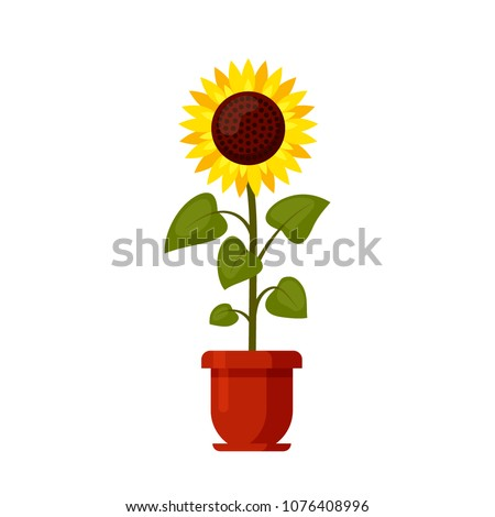 Sunflower cartoon grown in a flowerpot isolated on a white background. Summer agriculture flat style vector illustration