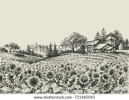 sunflower field vector