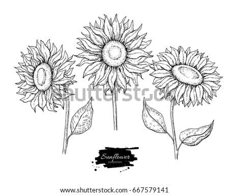 sunflower flower vector drawing