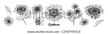 Sunflower hand drawn vector collection. Floral ink pen sketch. Black and white clipart. Realistic wildflower freehand drawing. Isolated monochrome floral design element. Sketched Helianthus outline
