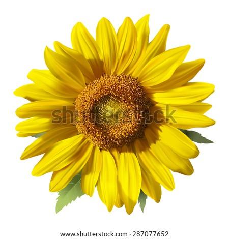 sunflower   heliantus  hand