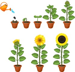 Sunflower life cycle. Growth stages from seed to flowering and fruit-bearing plant