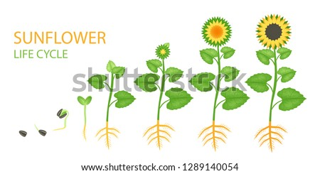 sunflower life cycle stages of