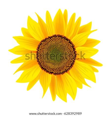 sunflower or helianthus