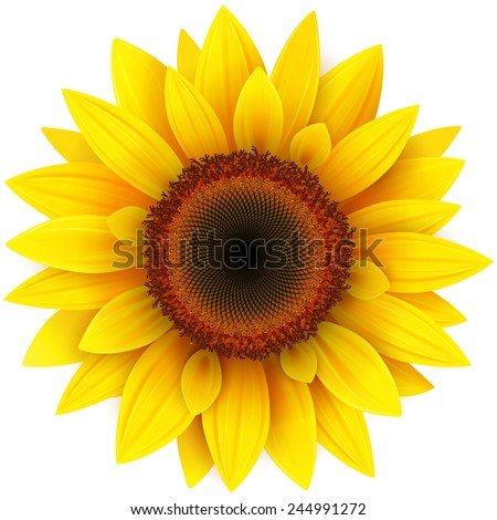 sunflower  realistic vector