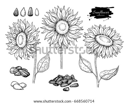 sunflower seed and flower