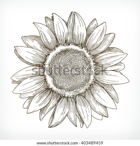 sunflower sketch  hand drawing