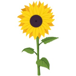Sunflower vector cartoon flat illustration of a garden summer flower on a stem with green leaves isolated on a white background.