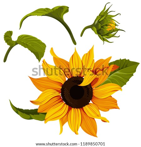 stock-vector-sunflower-vector-clip-art-set-yellow-flower-illustration-plant-image-with-transparent-background