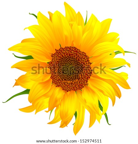 sunflower vector flower nature