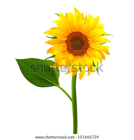 sunflower vector flower pedicle