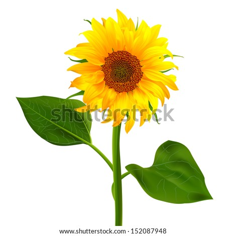 sunflower vector flower pedicle