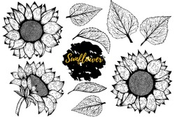 Sunflower. Vector set of hand drawn sunflowers and leaves isolated on white background