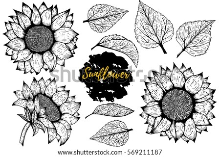 sunflower vector set of hand