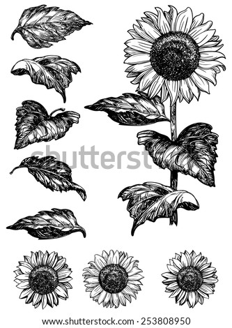 stock-vector-sunflower-vector-set-of-hand-drawn-sunflowers-and-leaves-isolated-on-white-background-at-retro