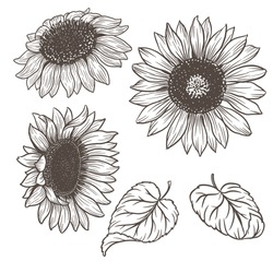 Sunflowers - flowers and leaves. Hand drawn botanical outline vector illustration