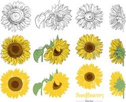 Sunflowers vector set, line art, hand drawn, separate elements, botanical illustration