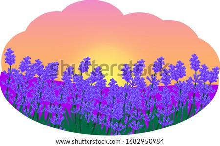 sunset over lavender field