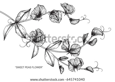 sweet peas flowers drawing and