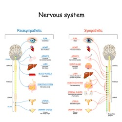 Sympathetic And Parasympathetic Nervous System. Difference. diagram with connected inner organs and brain and spinal cord. Educational guide of human anatomy.  vector illustration for medical use