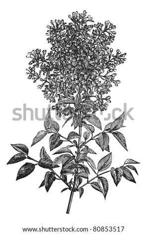 syringa vulgaris  lilac or