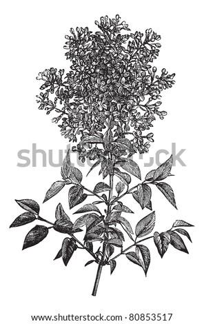 syringa vulgaris  lilac or