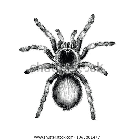 tarantula spider hand drawing