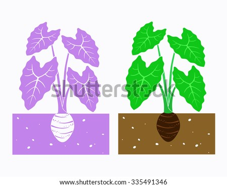 taro plant with leaves and tuber
