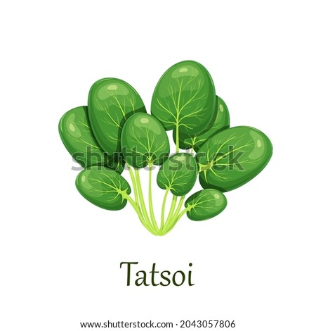 Tatsoi or tat choy salad vector illustration. Photo stock ©