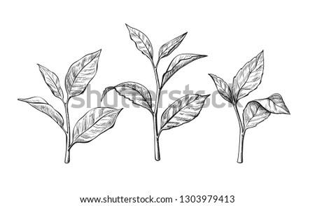 tea leaves. Ink sketch herbal illustration - Vector
