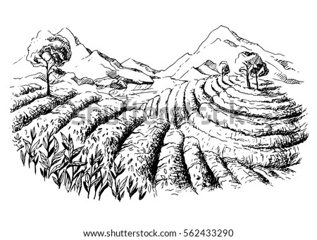 tea plantation landscape in
