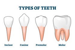 Teeth types vector illustration. Various healthy human tooth examples collection. Oral mouth stomatoligical elements comparison. Anatomical Incisor, canine, premolar and molar visual shape differences