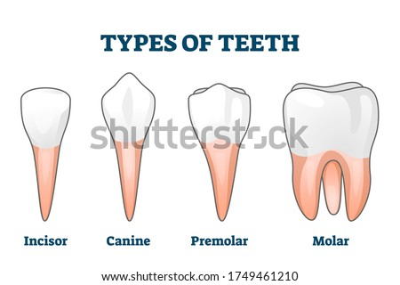 Teeth types vector illustration. Various healthy human tooth examples collection. Oral mouth stomatoligical elements comparison. Anatomical Incisor, canine, premolar and molar visual shape differences ストックフォト ©