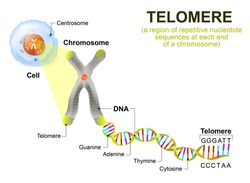 Telomere is a region of repetitive nucleotide sequences at ends of a chromosome. Each time a cell divides, the telomeres become shorter.