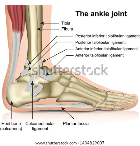 The ankle joint, tendons of the ankle joint foot anatomy vector illustration eps 10 infographic