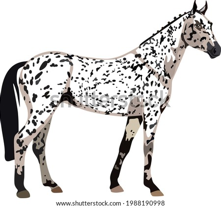 the appaloosa is a forelock
