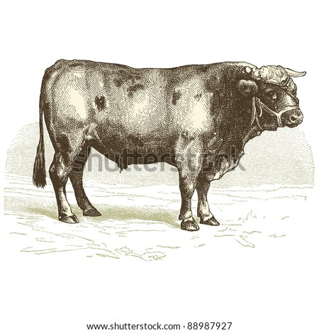 The beef - Vintage engraved illustration -
