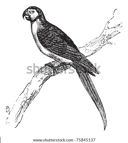 The Blue-and-Yellow Macaw, Ara ararauna, Blue-and-gold macaw or simply Macaw vintage engraving. Old engraved illustration of a Blue-and-Yellow Macaw sitting on a tree branch.