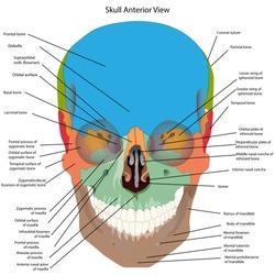 the bones of the head, skull the names of the cranial bones. Anterior view.