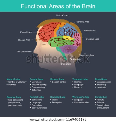 The brain is an important part in regulating the function of the body organs, the nervous system, the memory.