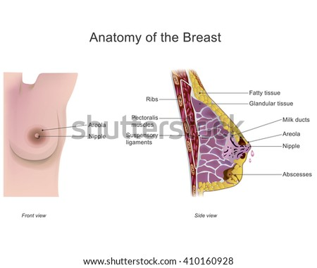 the breast is one of two