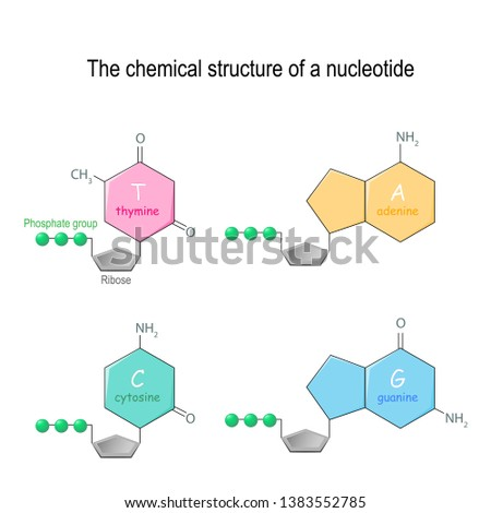 The chemical structure of a nucleotide. four main bases found in DNA: adenine, cytosine, guanine, and thymine. Phosphate group and Ribose. Vector diagram for educational, medical, biological use