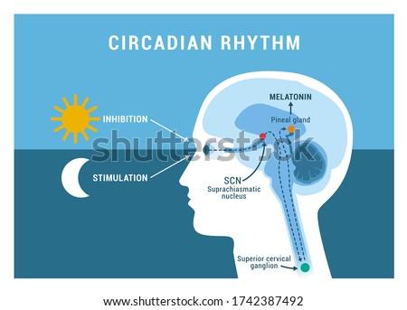 The circadian rhythm and sleep-wake cycle: how exposure to sunlight regulates melatonin secretion in the human brain and body processes Stockfoto ©